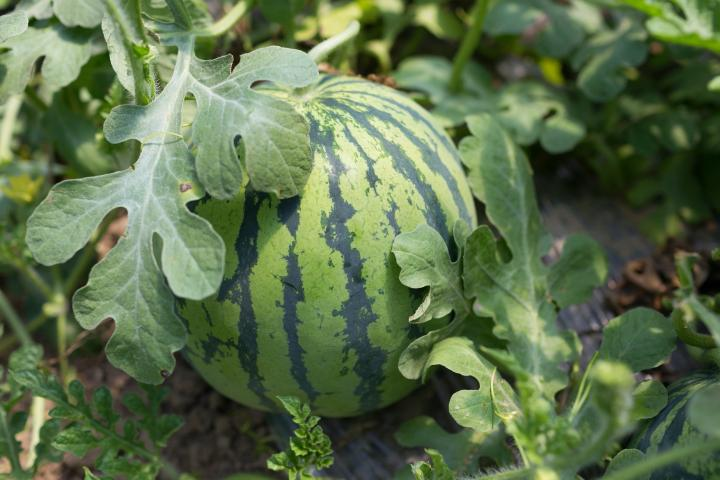 Watermelons Planting Growing And Harvesting Watermelons At Home The Old Farmer S Almanac