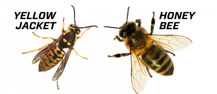 yellow-jacket-bees_full_width.png