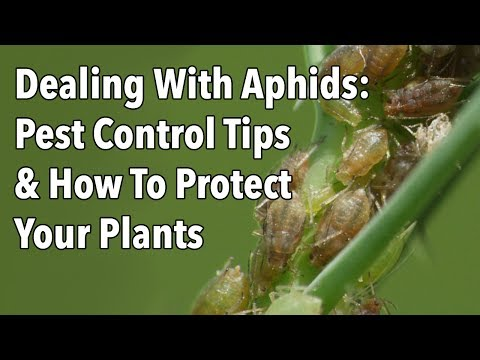 Aphids Pest Control Tips How To Protect Your Plants Video Old Farmer S Almanac