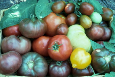 How To Grow Tomatoes From Seed The Old Farmer S Almanac