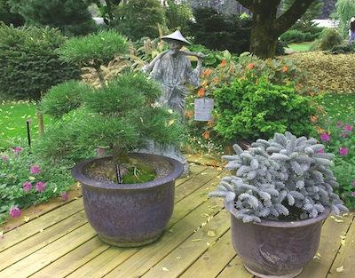 Dwarf conifers evergreens trees gardening tips