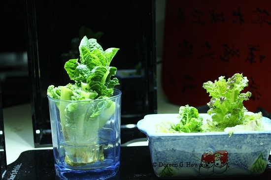 Growing lettuce from stems in water the old farmer 39 s almanac - Salads can grow pots eat fresh ...