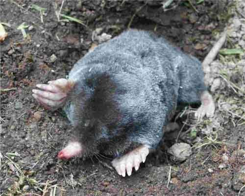 Moles are found in most parts of north america and live most of their