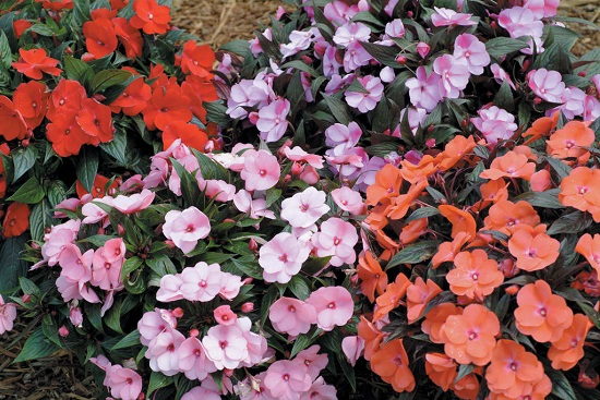 Impatiens dying disease spring 2013 the old farmer 39 s almanac for New guinea impatiens