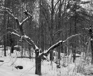 Apple tree daytime grayscale final