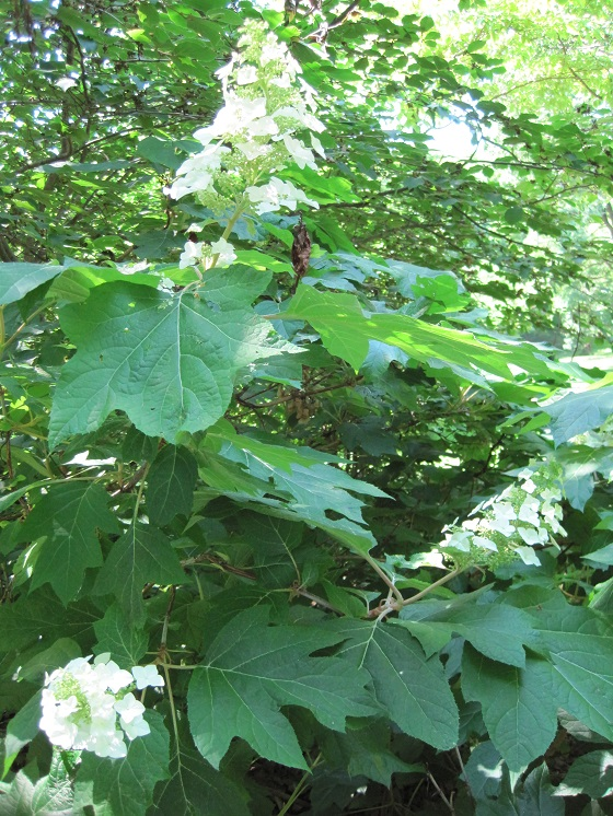 oak-leaf-hydrangeas-pruning