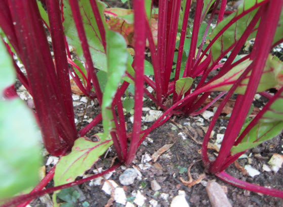 Planting And Growing Beets The Old Farmer 39 S Almanac