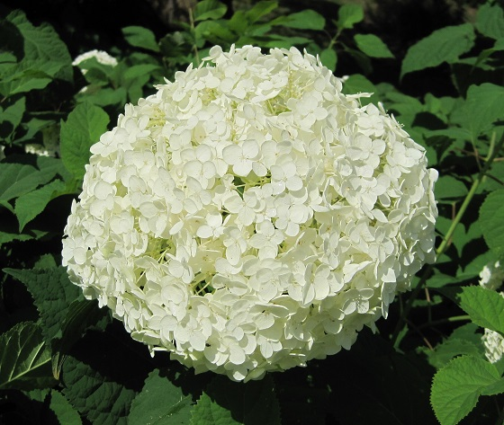 how-to-prune-hydrangeas