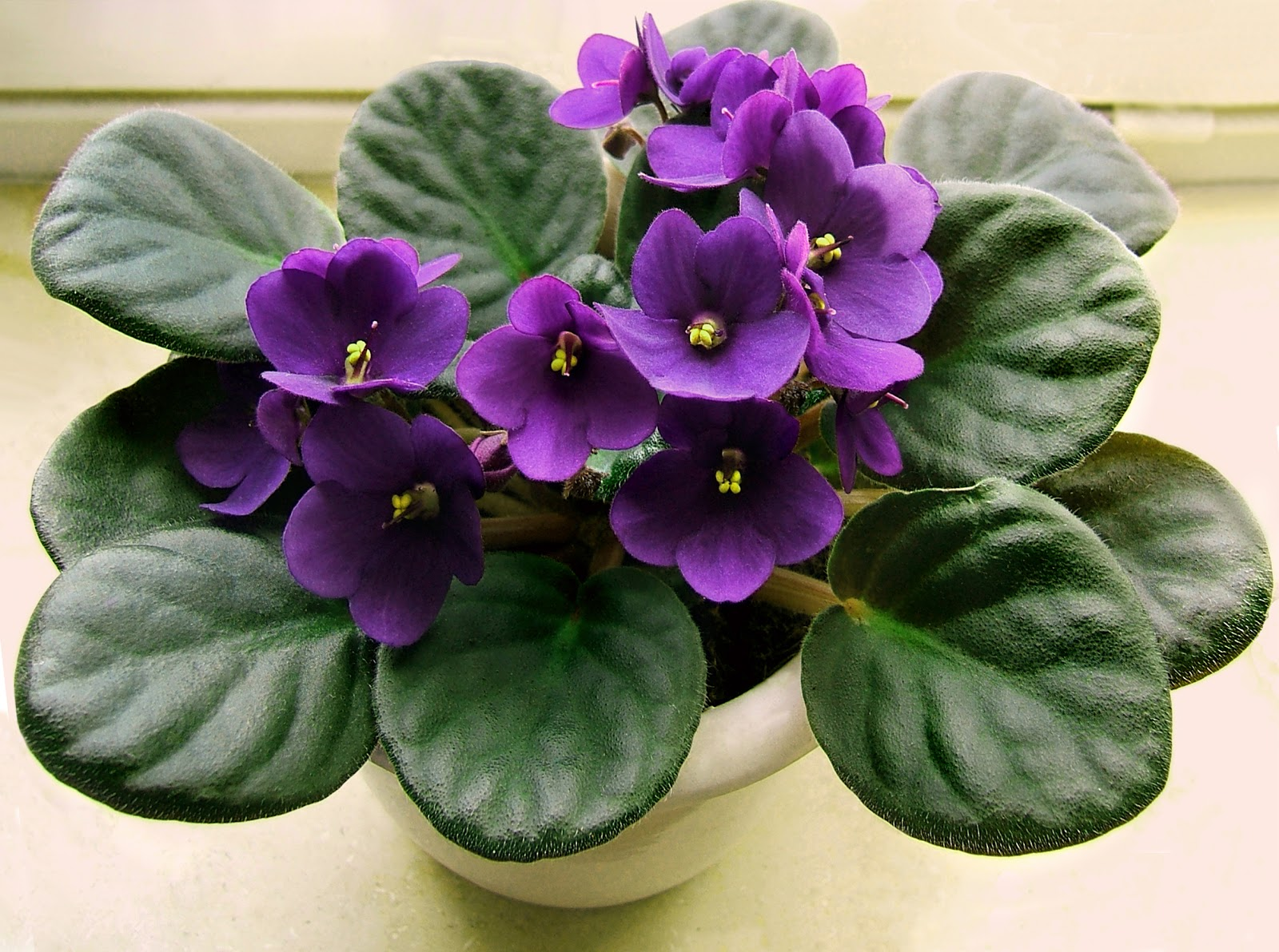 African Violet: How to Plant and Grow Indoors | The Old Farmer's ...