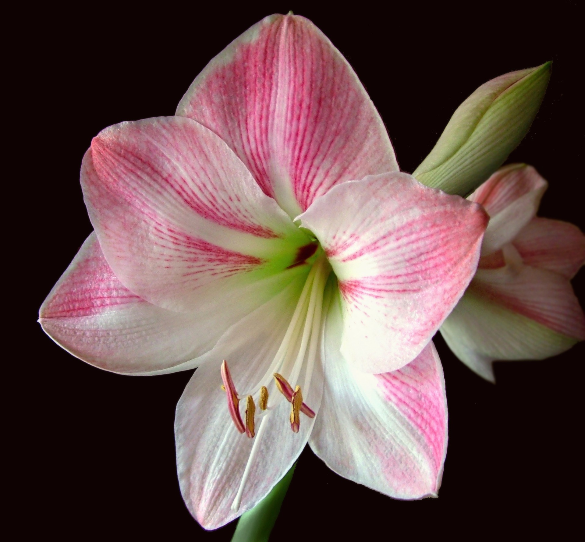 Equinox And Solstice >> Caring for Amaryllis in the Winter | Continuous Amaryllis Blooms | The Old Farmer's Almanac