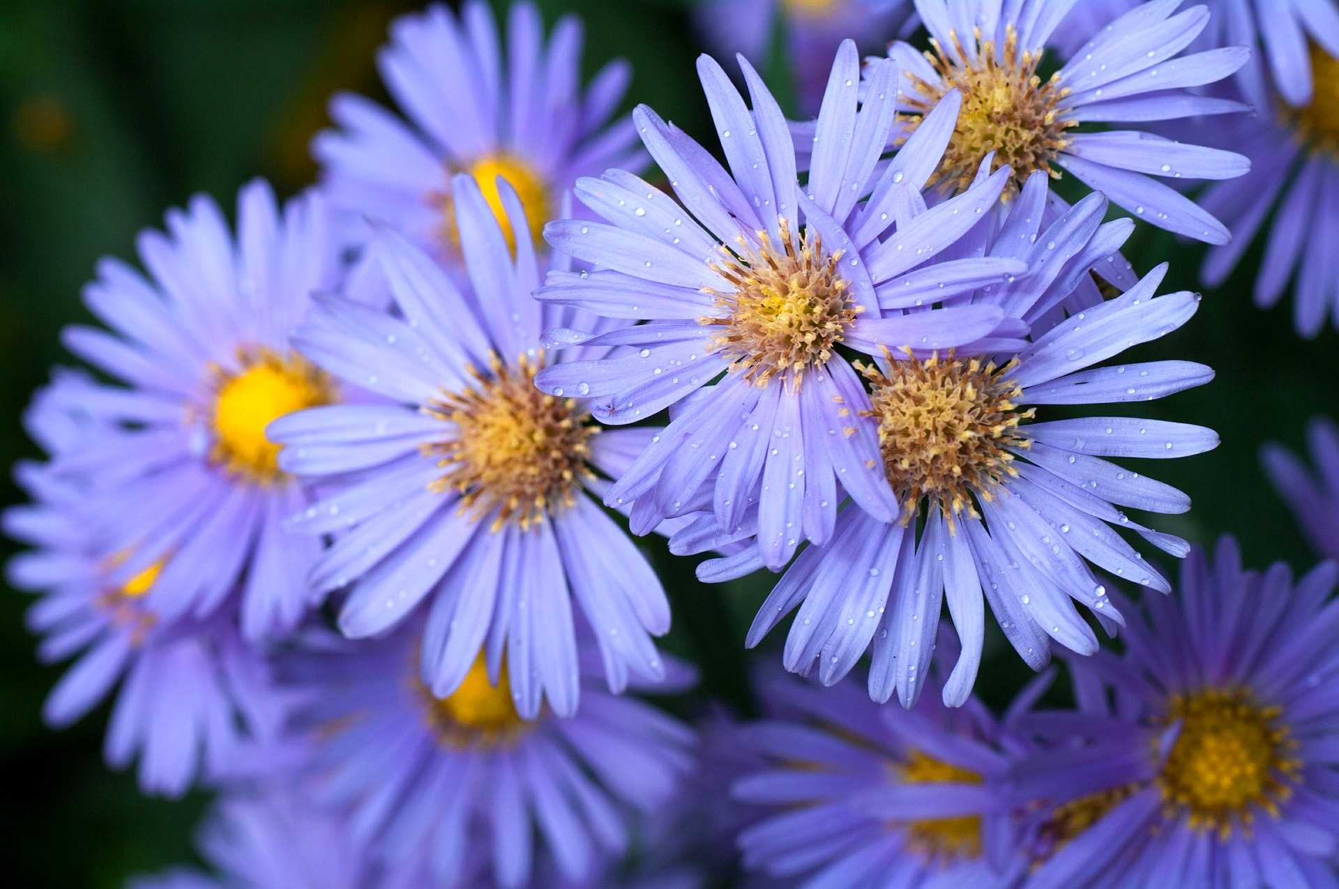September birth flower the old farmer 39 s almanac Flowers that bloom in september
