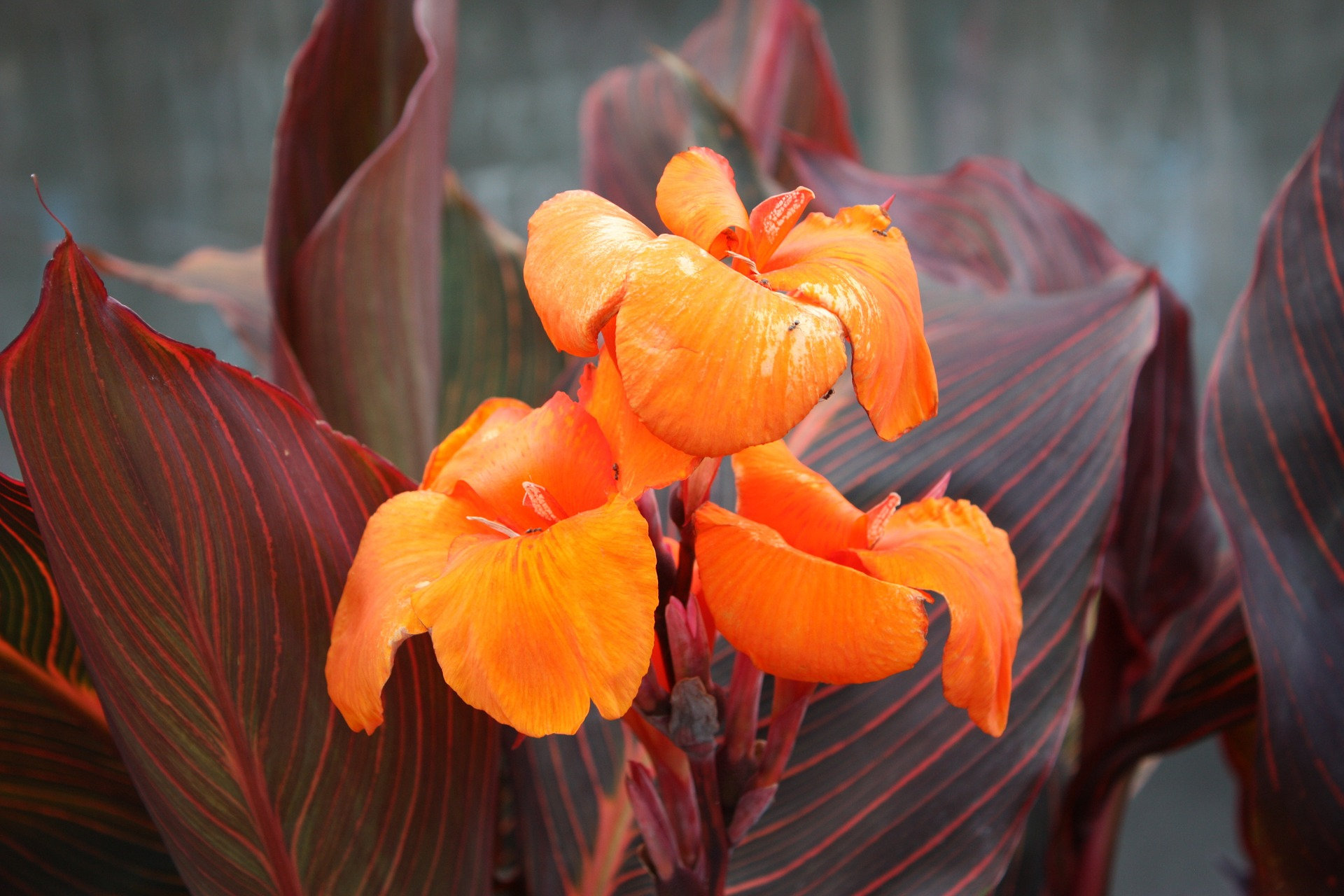 Cannas How To Plant Grow And Care For Canna Flowers