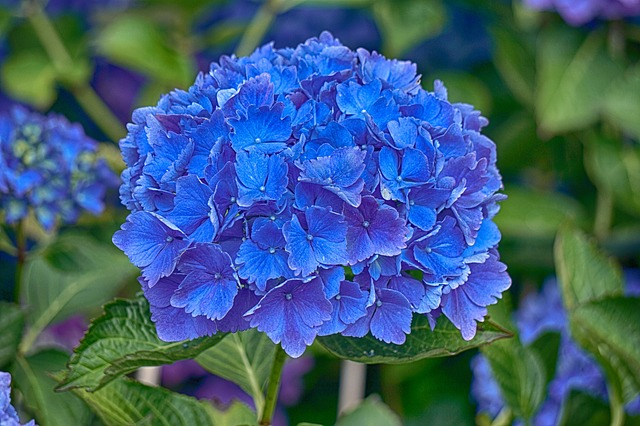 Hydrangea How To Plant Grow And Care For Hydrangea