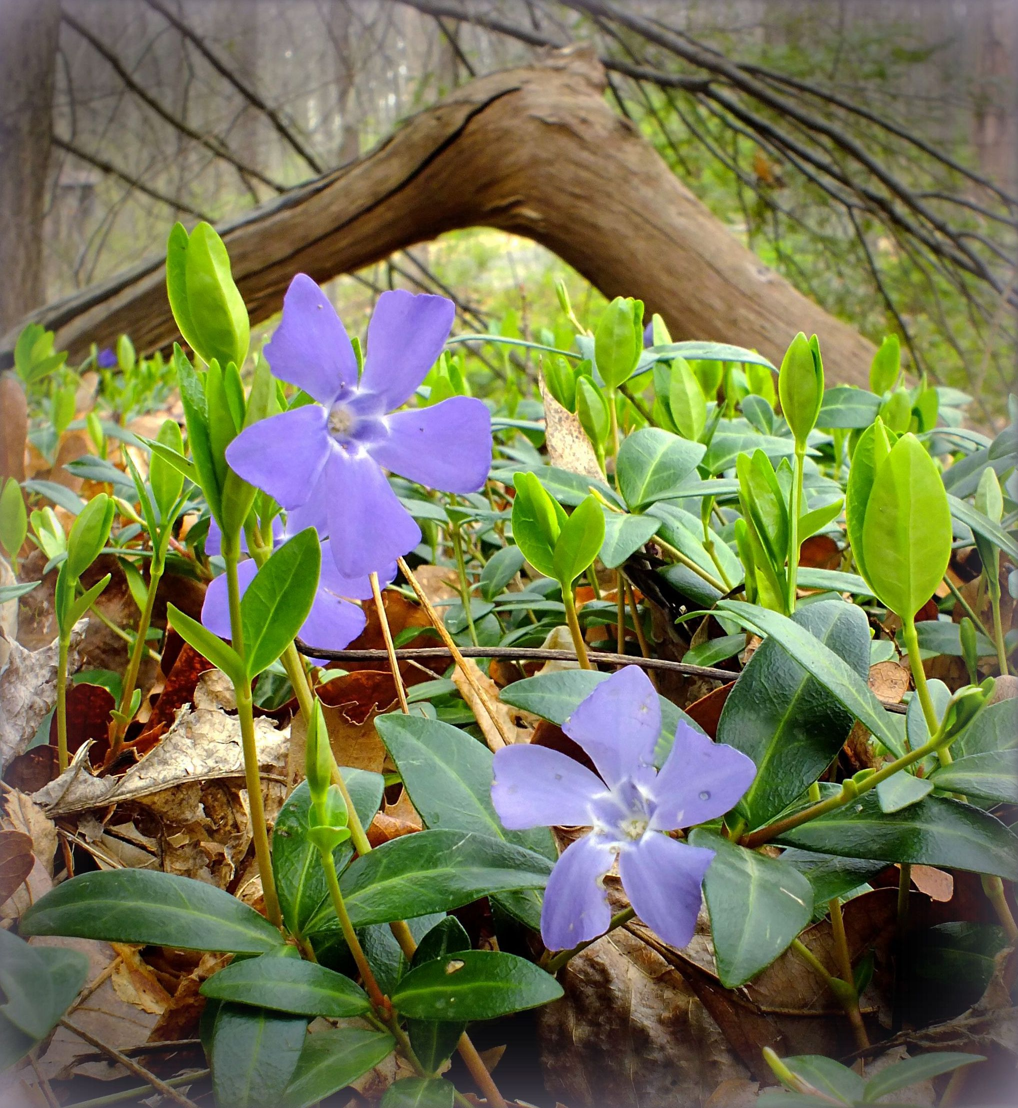 How to plant ground cover on steep bank - Periwinkle Myrtle Ground Cover Planting Gardening The Old Farmer S Almanac