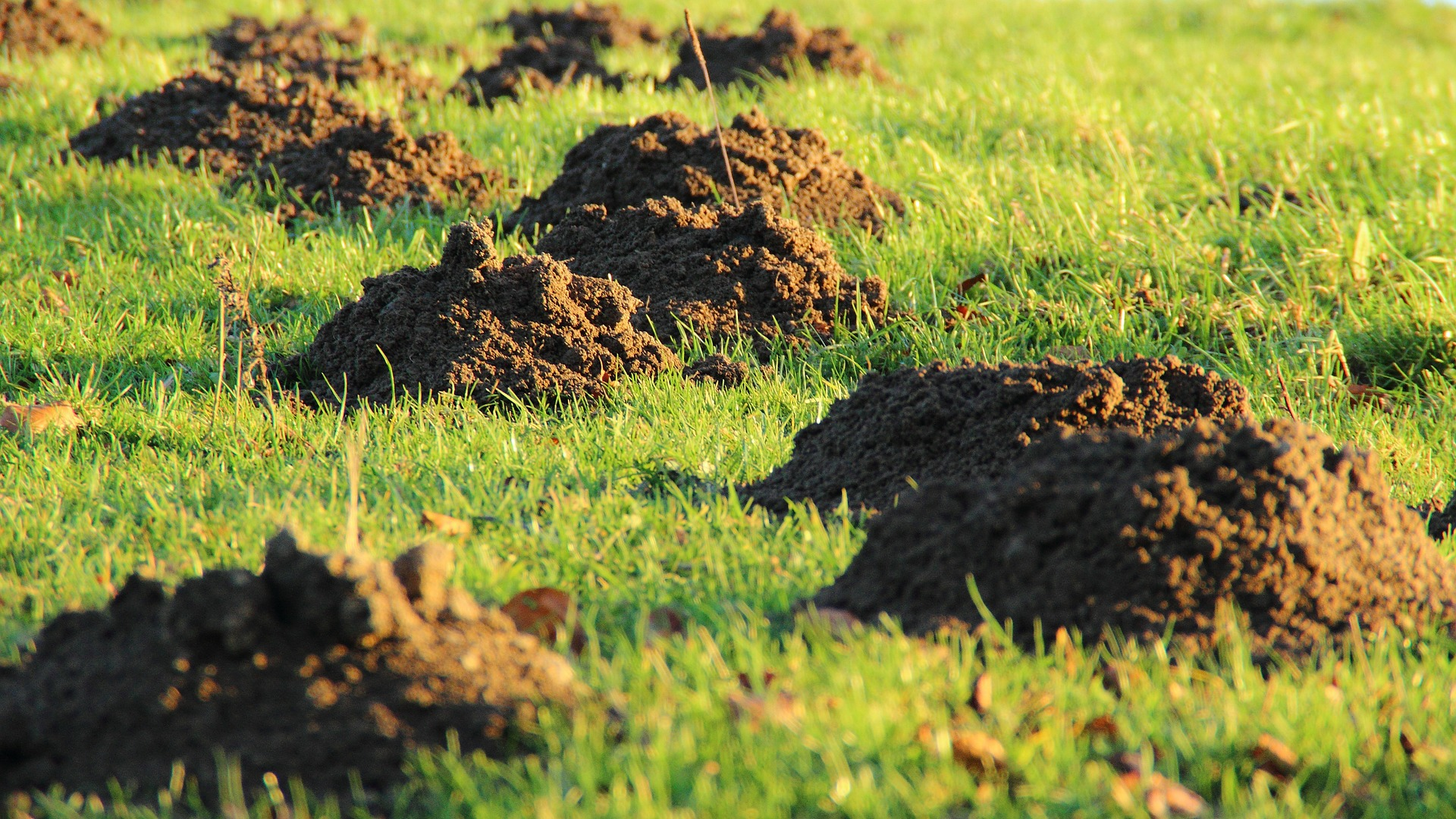 How to get rid of ground moles - Moles And Lawn Damage