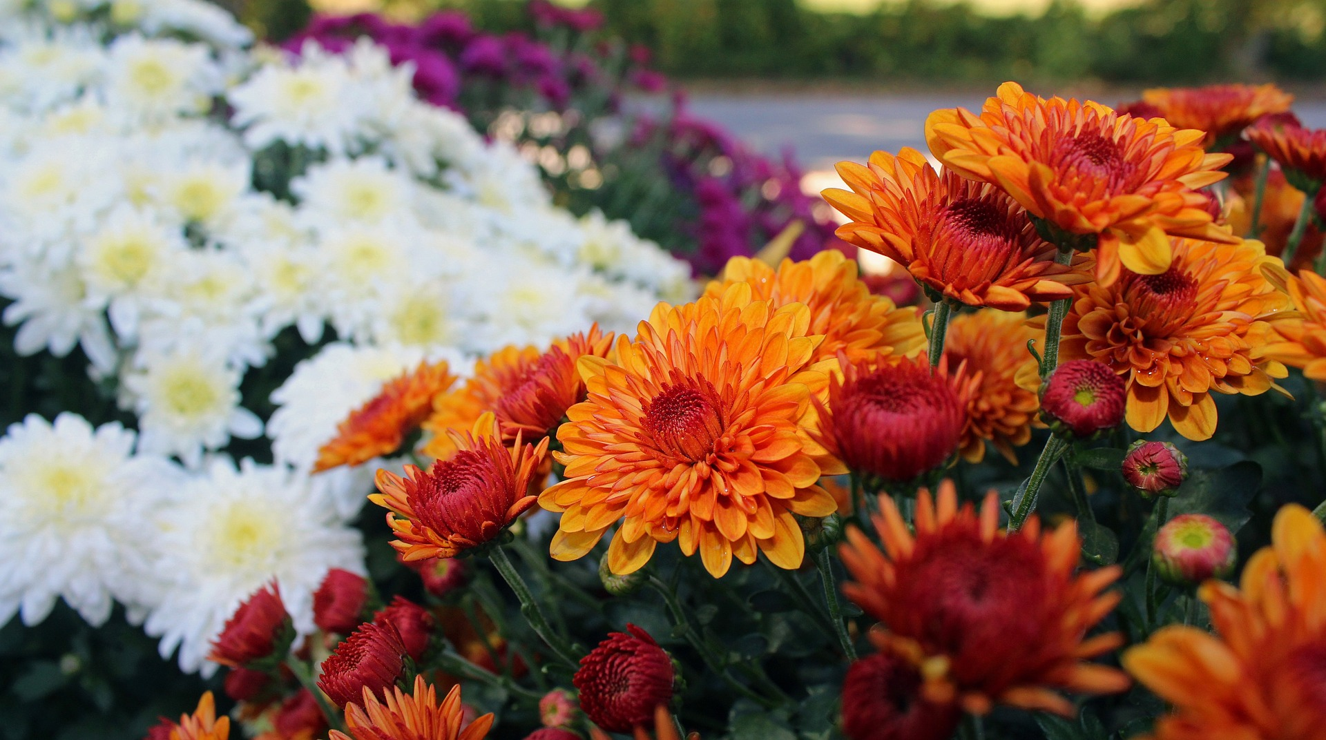 When to plant mums plant mums in spring overwintering mums the old farmer 39 s almanac - Flowers that bloom from spring to fall ...