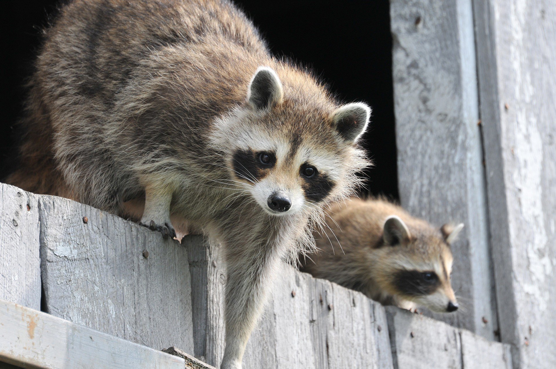 Raccoons How To Identify And Get Rid Of Raccoons In The