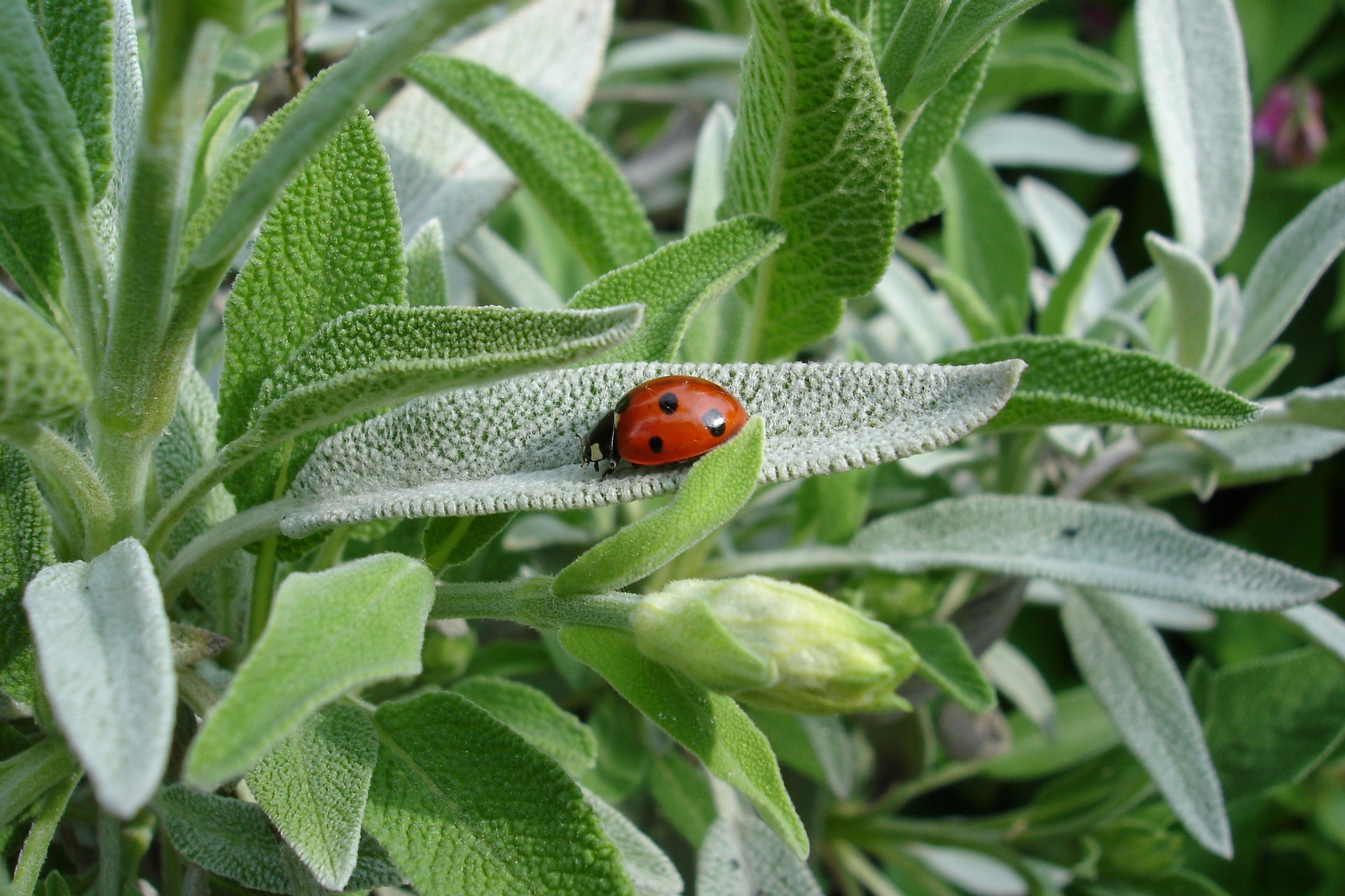 Sage: Planting, Growing, and Harvesting | The Old Farmer's ...