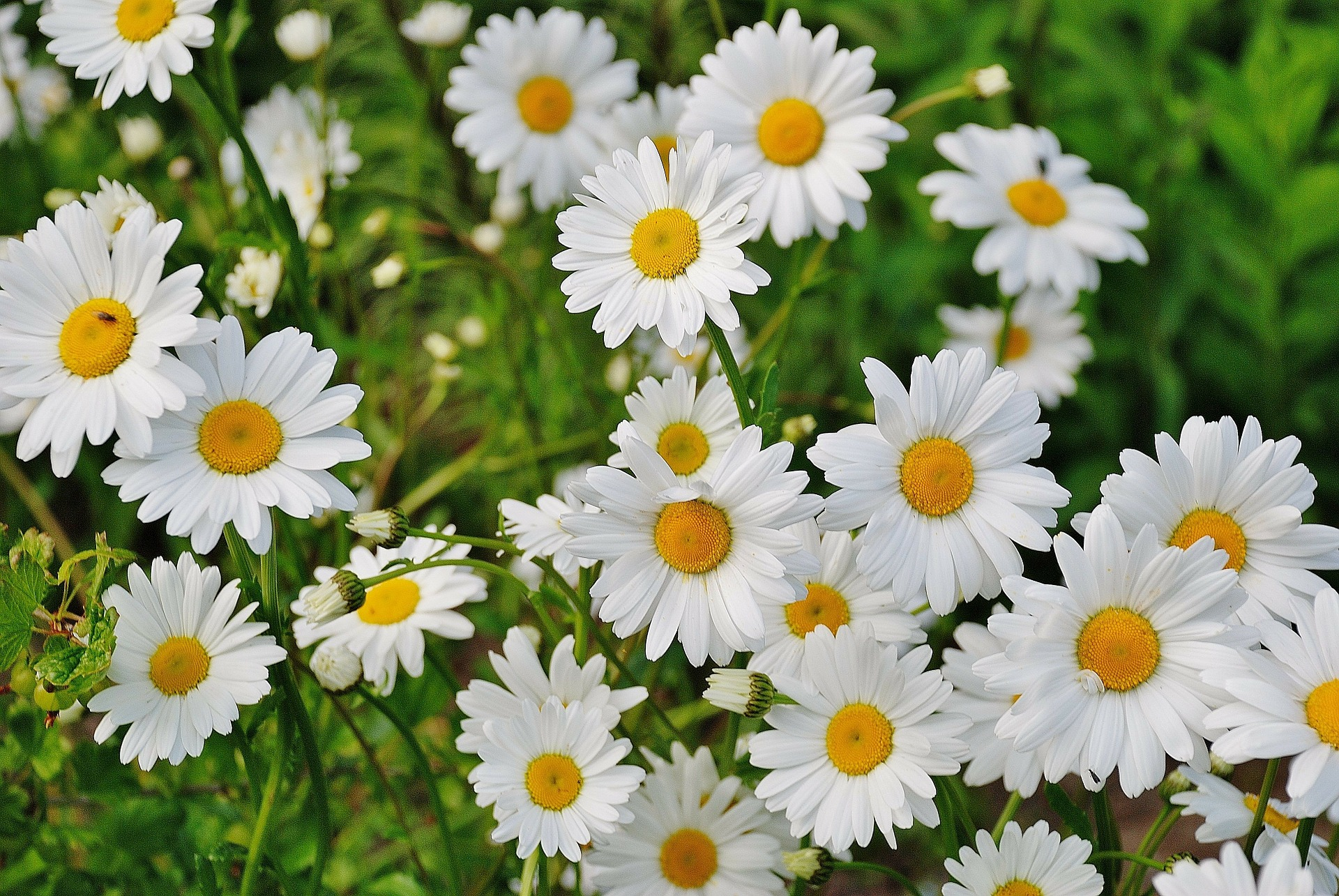 How to plant rhubarb in the fall - Shasta Daisies