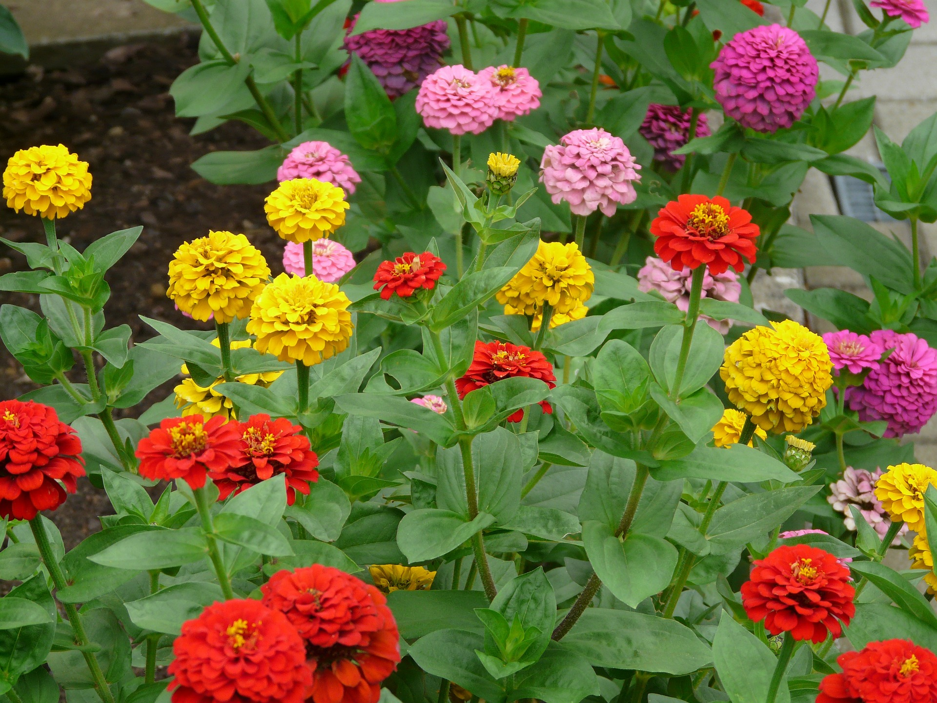 Morning glory flower coloring pages - Zinnias
