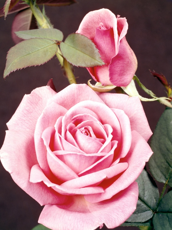 Roses About How To Plant Types The Old Farmer S Almanac