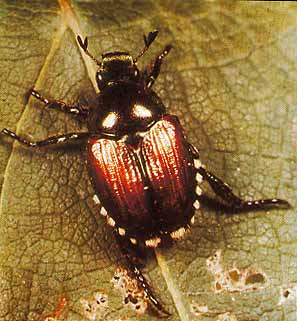 how to kill japanese beetles home remedies