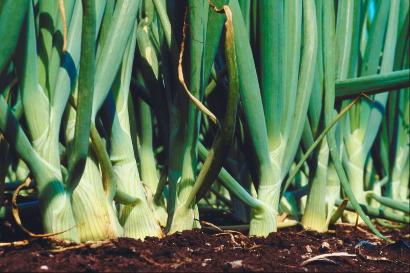How To Plant Onions  Scallions  And Leeks