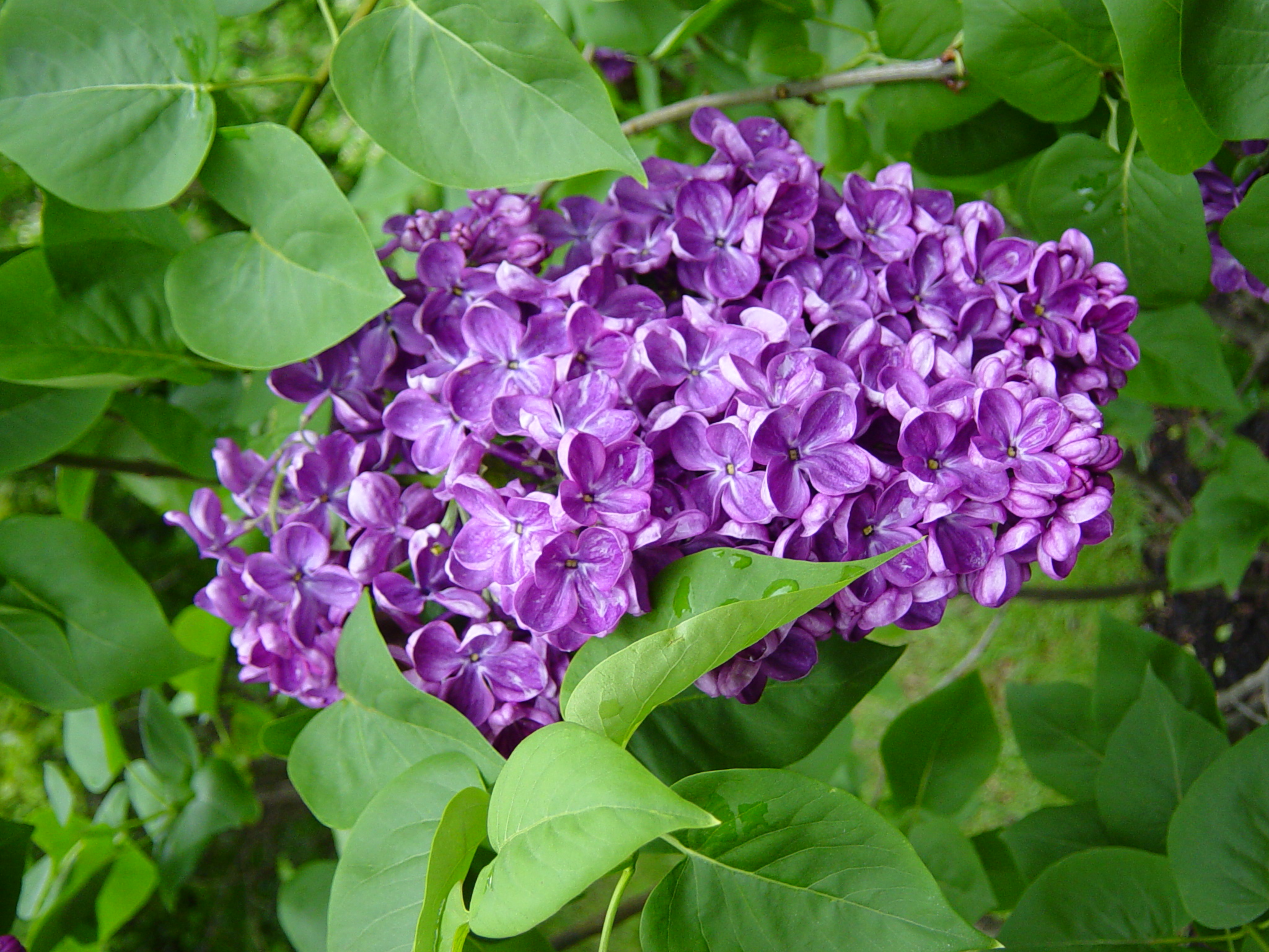 Shrubs with purple flowers pictures - Lilacs