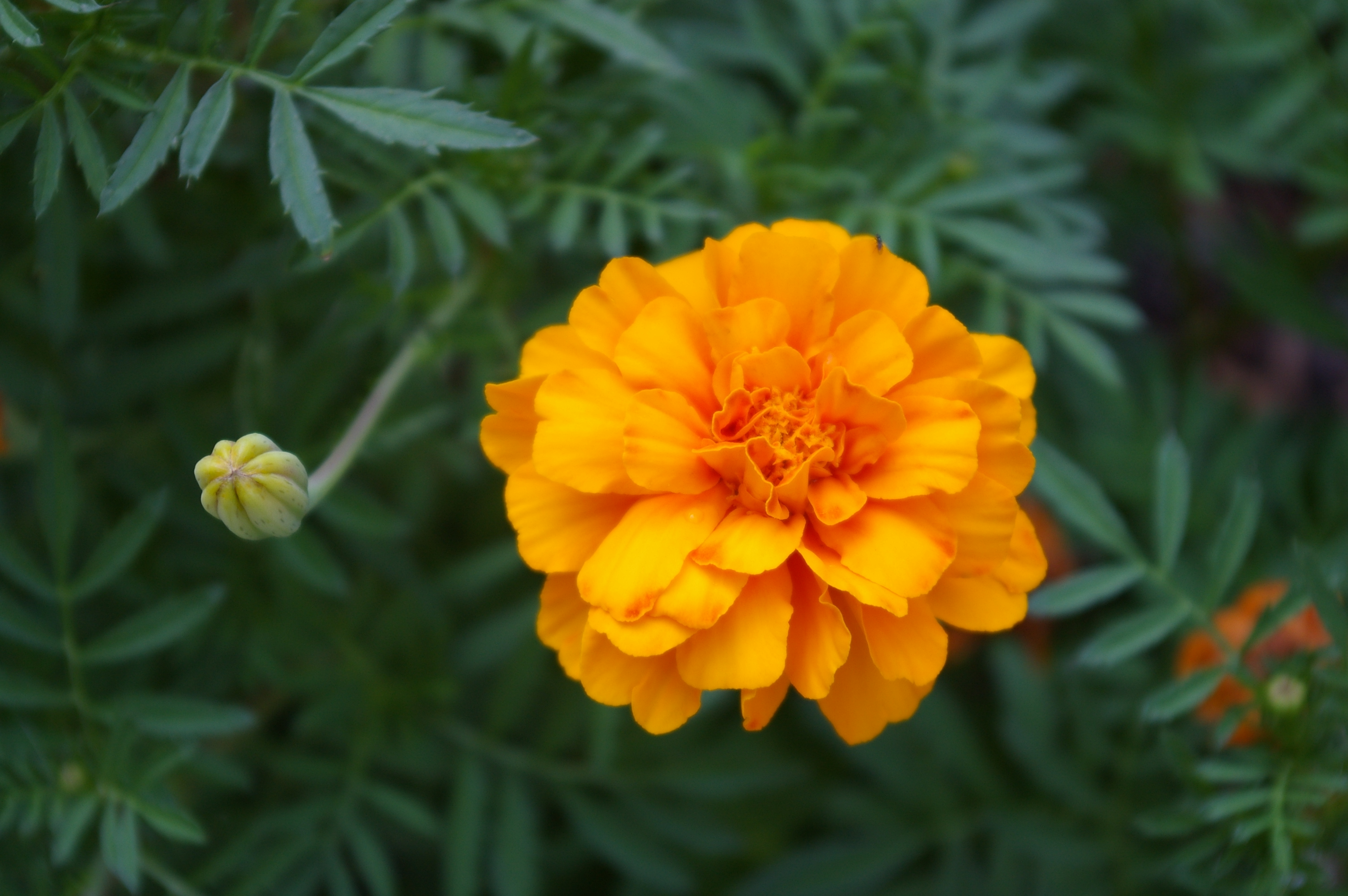 Marigolds: How to Plant, Grow, and Care for Marigold Flowers | The ...