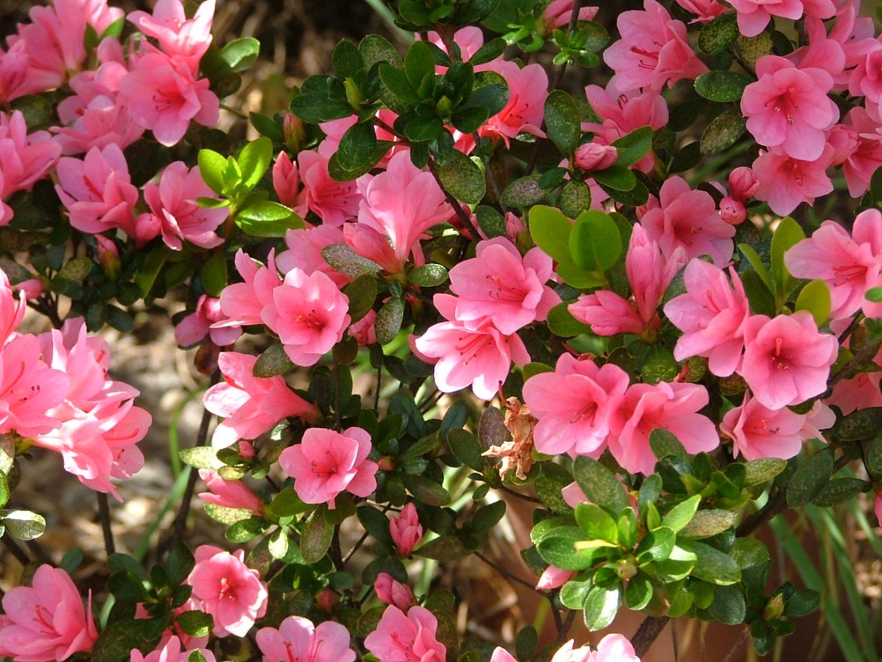 Azalea Varieties Plant Care And Growing Azaleas The Old