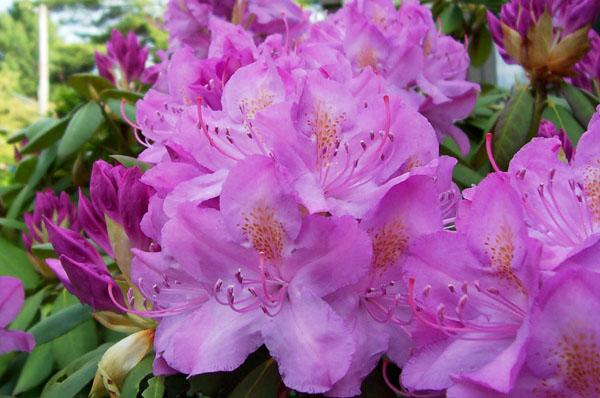 Rhododendrons And Azaleas How To Plant Grow And Care