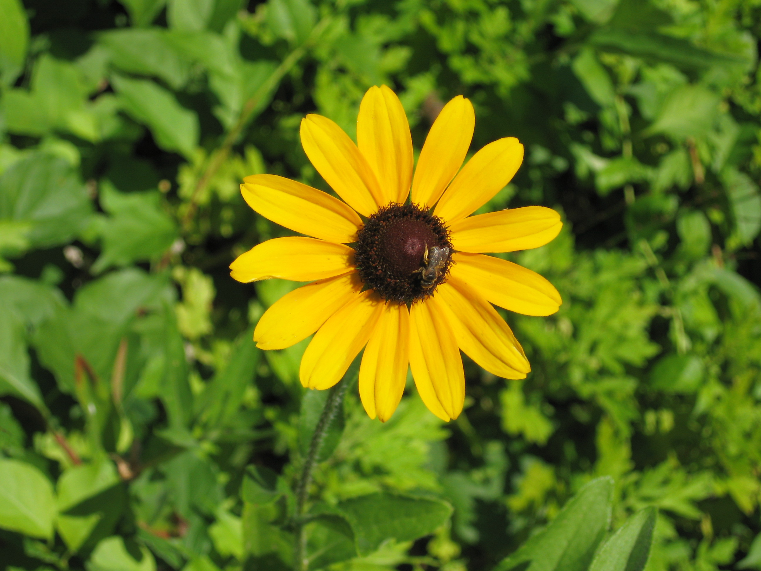 Outdoor flowers that like sun - Black Eyed Susans How To Plant Grow And Care For Black Eyed Susans The Old Farmer S Almanac