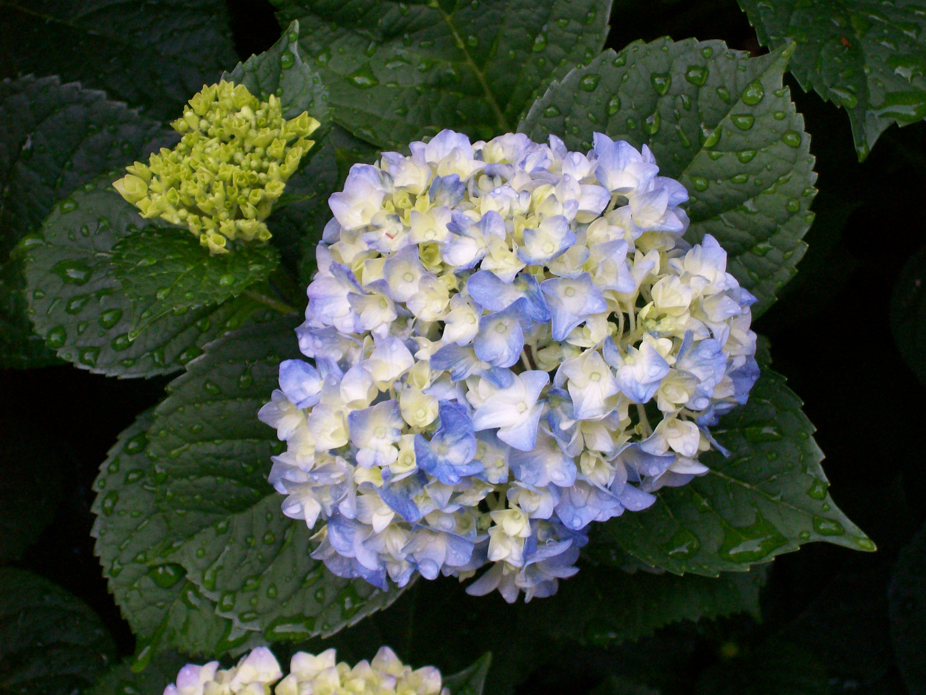Related keywords suggestions for hydrangea plant care - Caring hydrangea garden ...