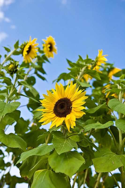 Sunflowers Planting History Gardening Varieties The Old