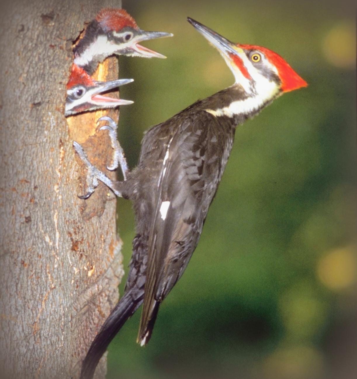 Bird Sounds and Calls-Pileated Woodpecker-Thinkstock