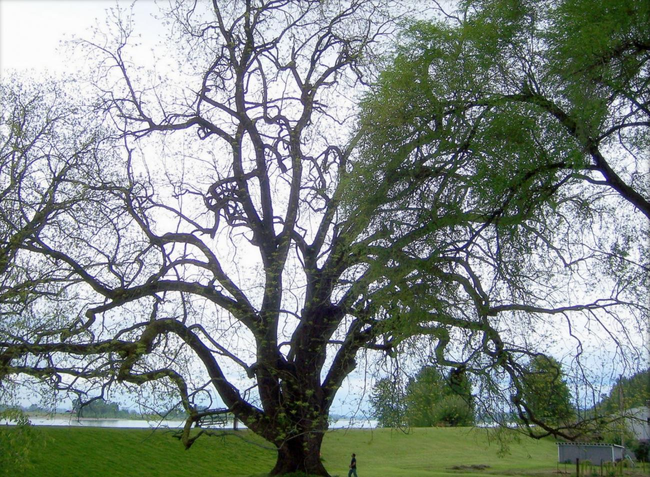 Black Walnut Tree Facts Garden Id Toxic The Old Farmer S