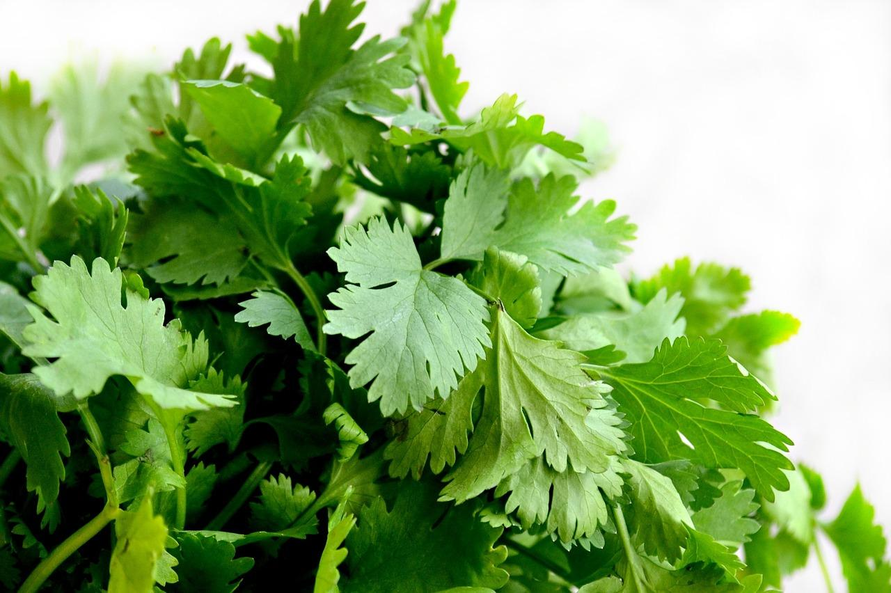 The Polarizing Plant, Cilantro