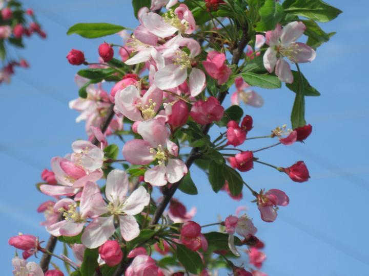 Crabapple Tree Flowering