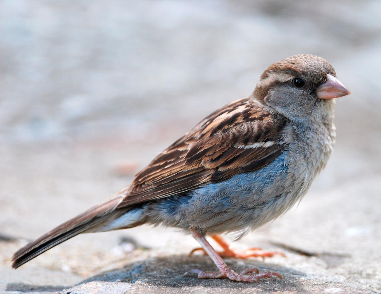 House Sparrow Calls by Peripitus via Wikimedia Commons