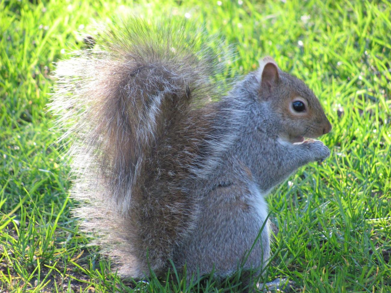 Squirrels-how to identify-squirrel-Pixabay