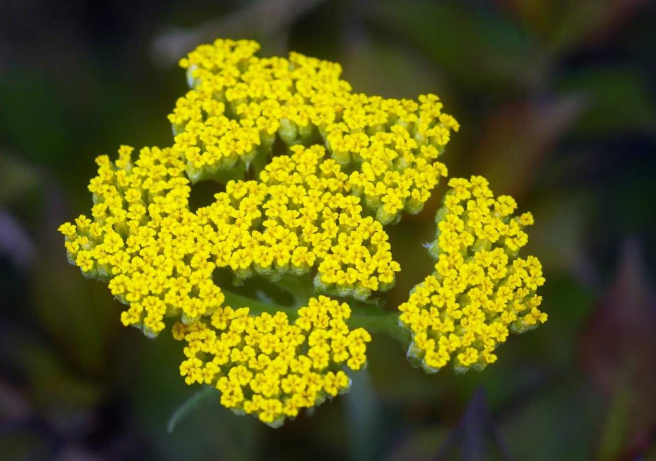 Yarrow can come in a bright yellow variety but it can also be red orpink. Crestock