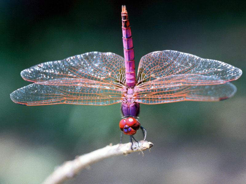 dragonfly-facts-meaning-habitat
