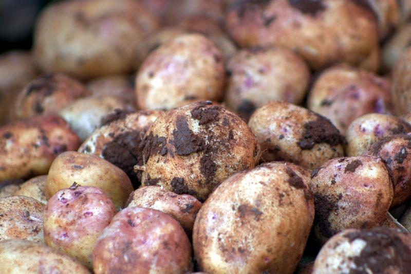 Potatoes in root cellar