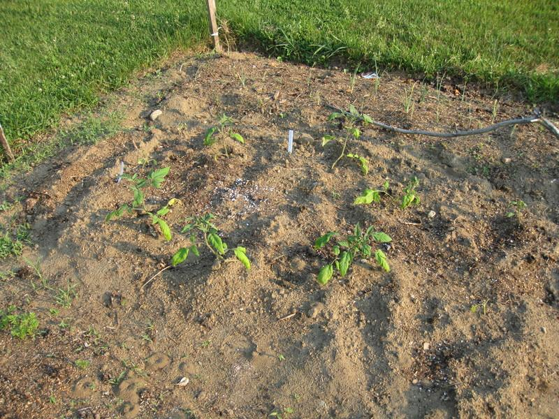 The Tomato Circle: Planting Tomatoes Horizontally 1