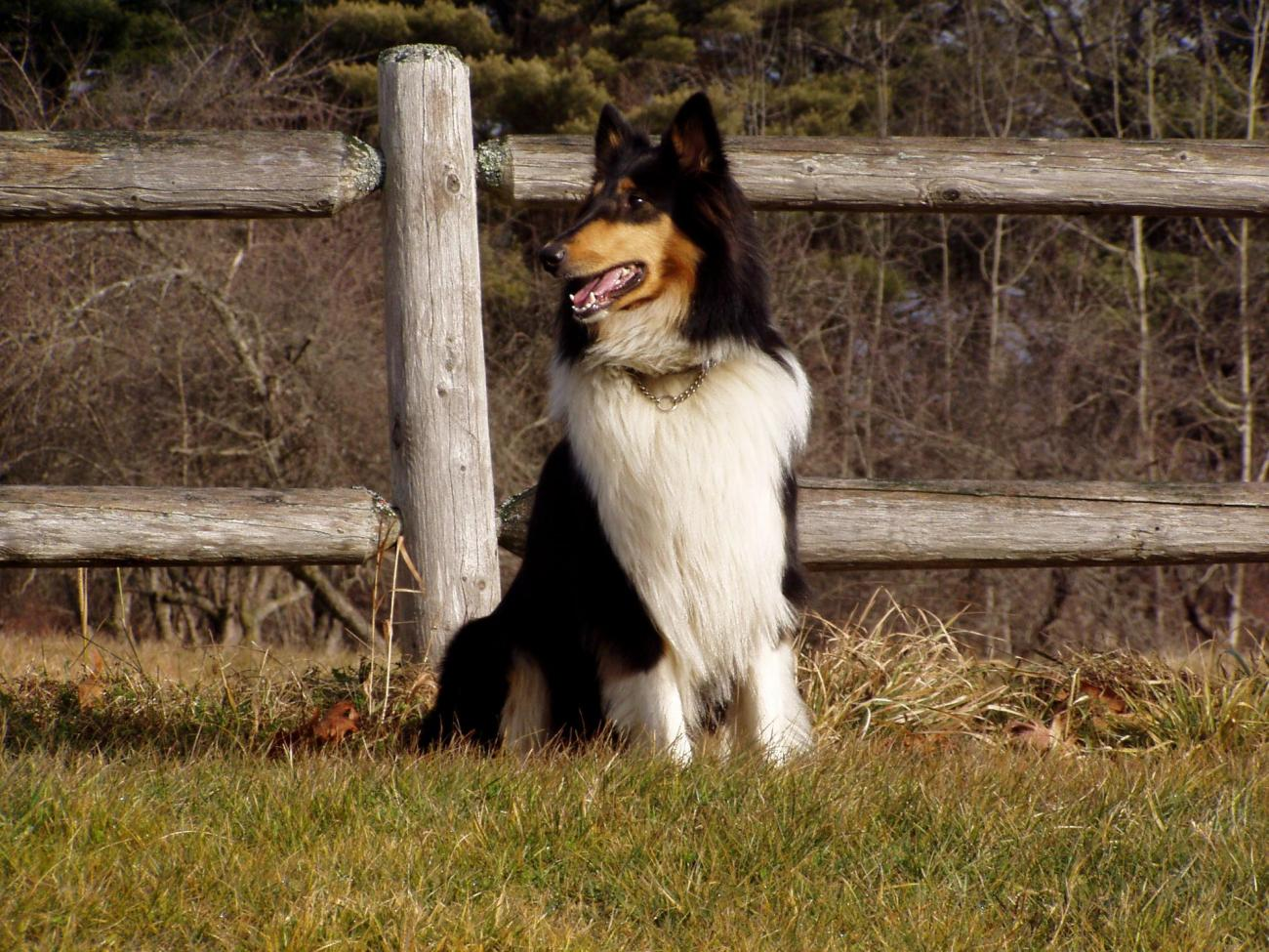 Collie in the Country