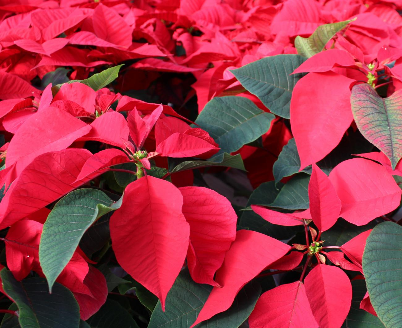 Poinsettia is an unlikely Christmas flower.