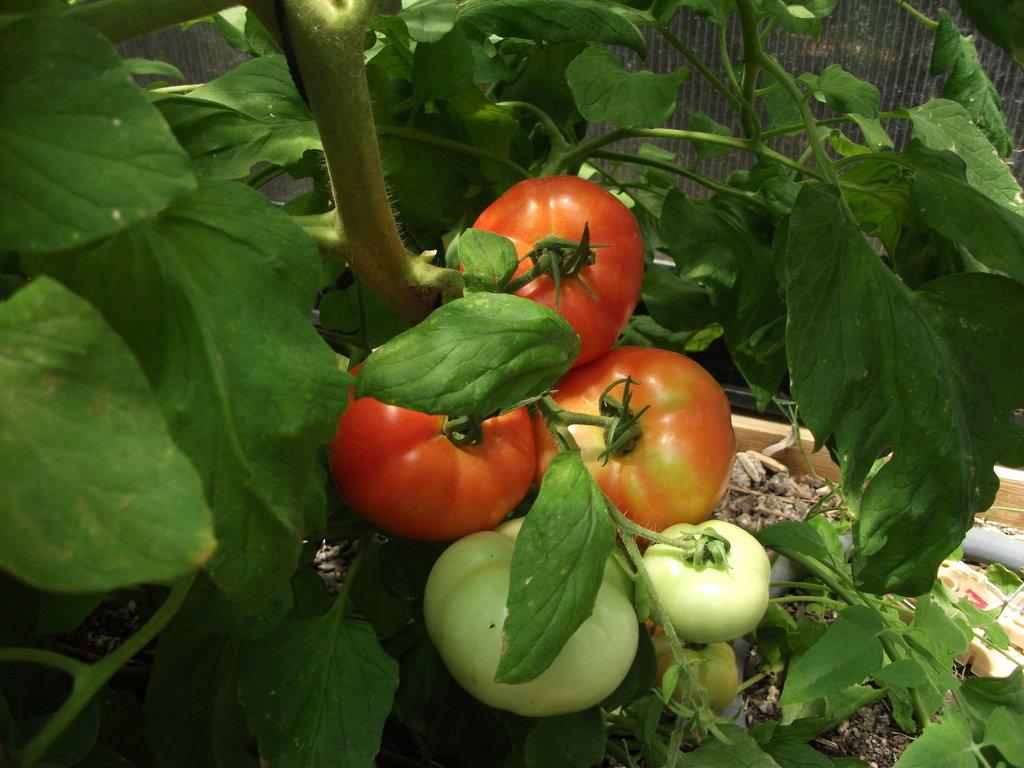 Backyard Garden Tomatoes on Vine