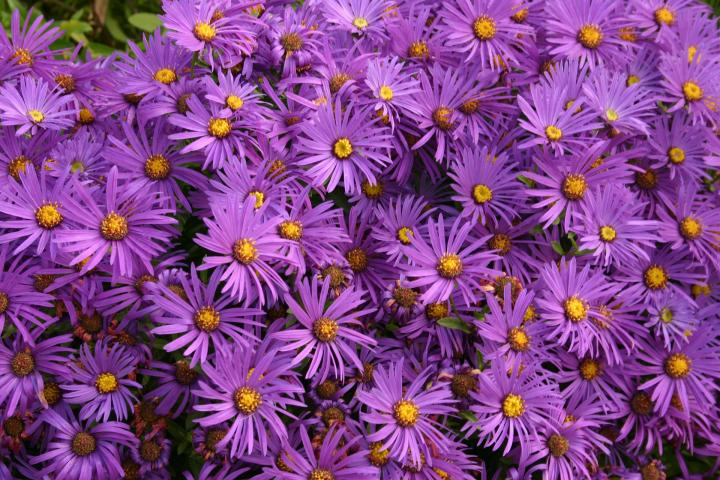 aster-september-birth-flower_full_width.jpg