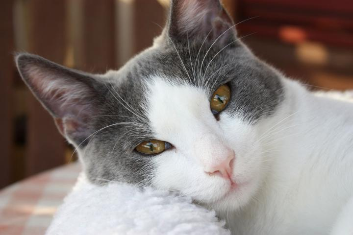 Several potential causes exist for itchiness in a cat's ears but, for sure, the itching is a symptom of a problem. The problem, its cause and its solution need to be determined by a vet.