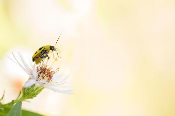 Spotted cucumber beetle. Photo by Shenandoah National Park.